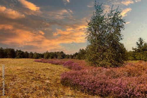 Fotografia the nature reserve Maasduinen with single tree