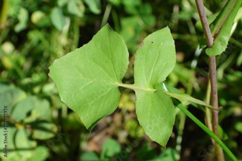 Fototapeta Smooth Sow-thistle (Sonchus oleraceus)