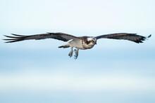 Osprey Bird Fly In Blue Sky