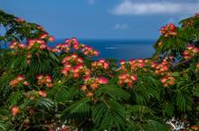 Persian Silk Tree (Albizia Jul...