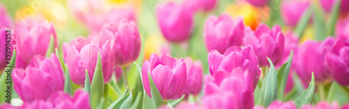 Fototapeta pink tulips in the garden