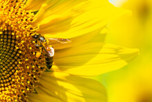 Close Up Sun Flower And Bee In The Field For Background