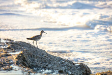 California Beach Bird Willet
