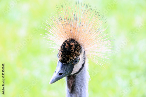 Fototapeta premium Kronenkranich, Kranich, Vogel, Schwanewede, Niedersachsen, Deutschland, Europa - Crowned Crane, Crane, Bird, Schwanewede, Lower Saxony, Germany, Europe