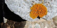 Orange Spots (lichens) On A Ro...