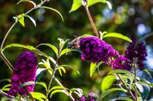 Flying Hummingbird Moth