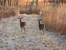 Deer In The Forest: Two White-tailed Deer Does Walk On Frosty Path Of Brown Vegetation In A Clearing In The Forest At Sunrise On A Late Autumn Morning In Landscape View