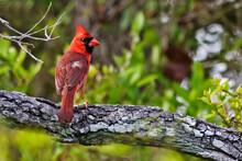 Northern Cardinal, Cardinalis Cardinalis, Perched In Tree