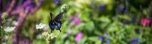 Horizontal Banner Of A Closeup Of A Spicebush Swallowtail, Dark Black And Metallic Blue Feeding On Queen Anne's Lace.