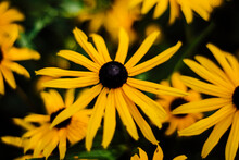 Close Up Of Black Eyed Susans ...