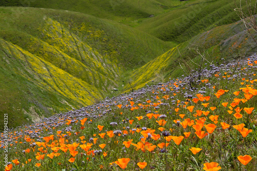 Photo Idyllic California Hillsides Filled with Wildflowers Bloom after