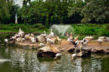 Room Of Pelicans Are Resting On The Bank Of The Pond