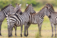 A Group Of Zebras Stands Motio...