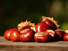 Close Up Of Ripe Conkers - Fruits Of Horse-chestnut Tree