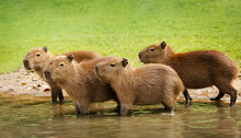 Group Of Baby Capybaras On A River Bank