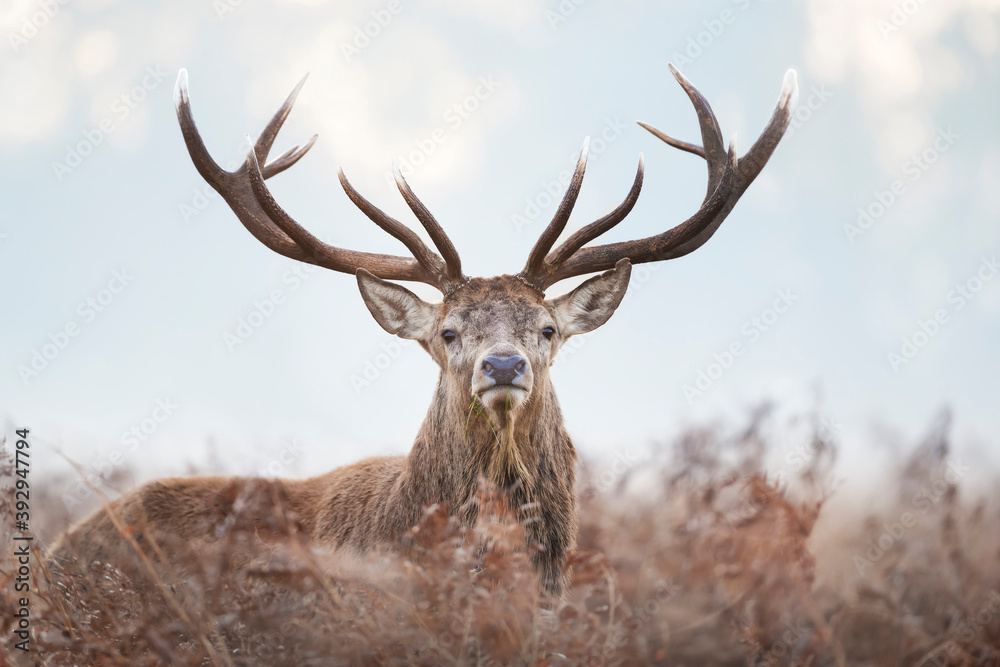 Fototapeta Close-up of a red deer stag on a misty autumn morning