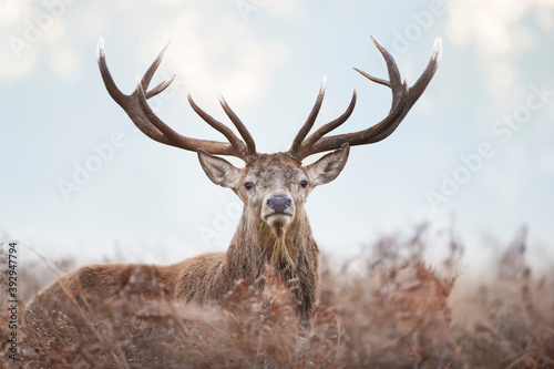 Close-up of a red deer stag on a misty autumn morning