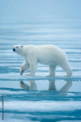 polar-bear-svalbard-norway