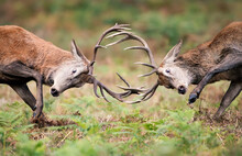 Red Deer Stags Fighting During...
