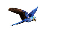 Hyacinth Macaw In Flight On White Background