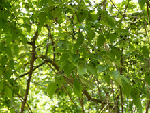 Celtis Occidentalis | Common Hackberry Tree Or Nettletree Branchlets With Asymmetrical, Pale Yellow Green Textured Leaves And Small Dark Purple Berries And Green Unripe Fruits