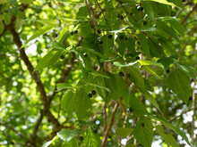 (Celtis Occidentalis) Common Or American Hackberry Tree With Dense Green Foliage And Small Unripe Fruits On Branches