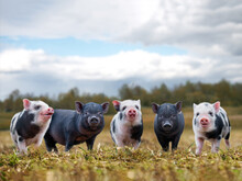 Lots Of Cute Piglets On The Wa...