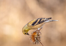 Lesser Goldfinch Female On Dried-out Sunflower In Late Autumn