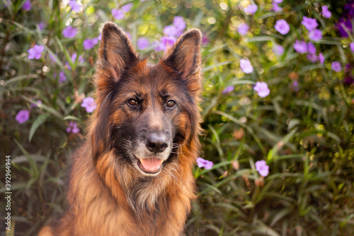German shepherd dog with long coat in front of purple flowers Canvas