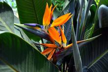 Bird Paradise Flower In Helsinki Garden