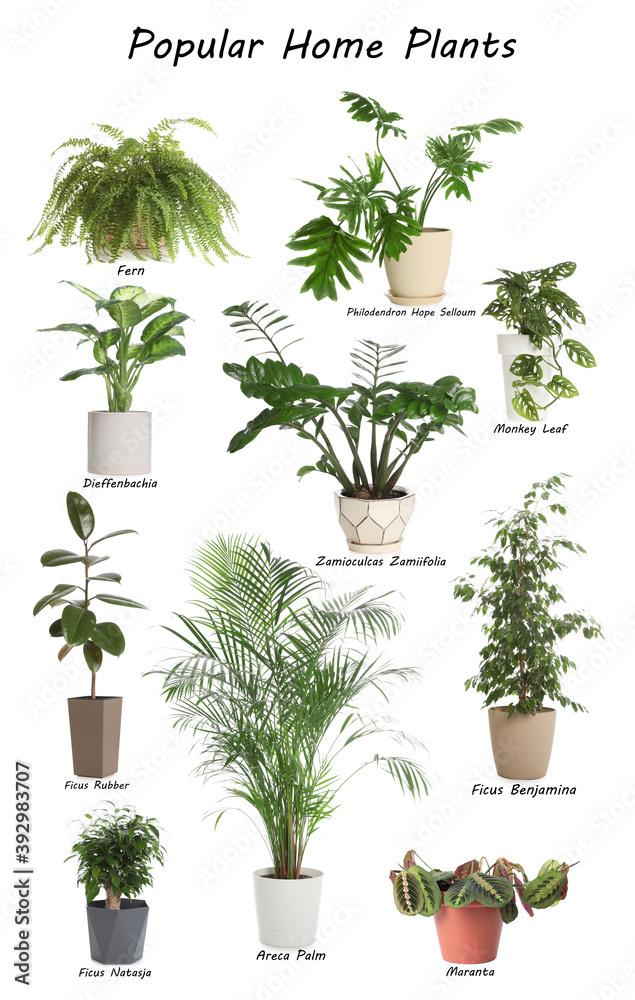 Fototapeta Set of popular house plants on white background