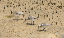 Eastern Curlews On The Sand Fl...