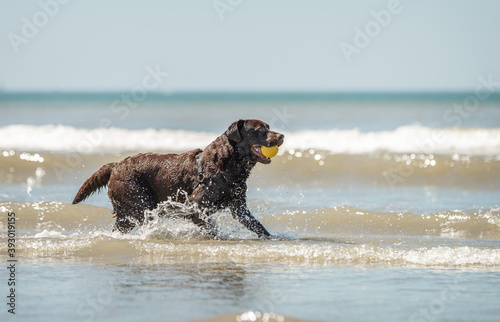 Valokuvatapetti Chocolate labrador dog retrieving a yellow ball in the sea water