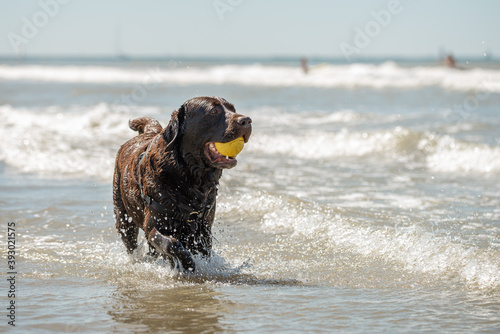 Canvastavla Action portrait of happy chocolate labrador retriever dog at the beach