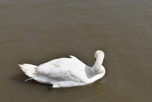 Swan, Bird, Water, White, Lake, Nature, Animal, Beautiful, Beauty, Swans, Beak, Mute, Birds, River, Swimming, Wildlife, Graceful, Feather, Swim, Pond, Love, Reflection, Cygnus
