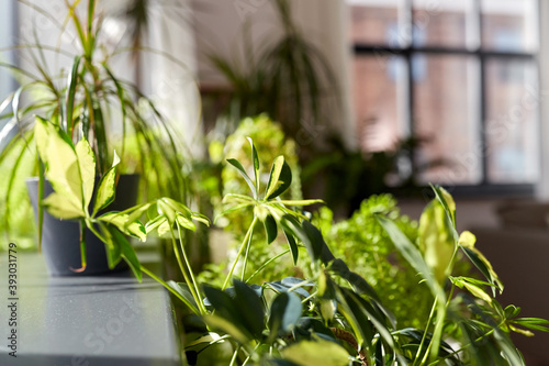 nature, flora and gardening concept - green flowers and houseplants at home Fototapet