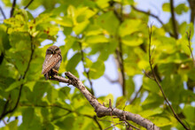 Spotted Owlet On Tree Branch, ...