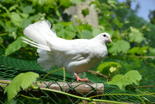 Beautiful White Pigeon Sitting...