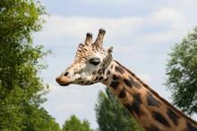Giraffe Head And Neck Under Bl...