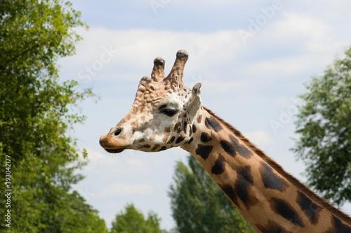 Giraffe head and neck under blue sky Canvas Print