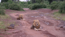Two Male Lions Laying On A Dirt Road