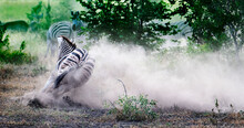 Zebra Throwing Up Dust