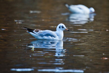 White Duck Swimming In The Water