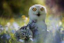 The Snowy Owl (Bubo Scandiacus...