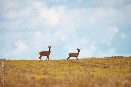 Valokuva Two wild roe deer, capreolus capreolus, doe and fawn standing close together on a meadow