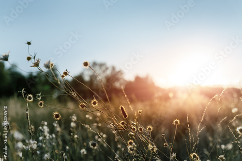 Fototapety, obrazy: Abstract warm landscape of dry wildflower and grass meadow on warm golden hour sunset or sunrise time. Tranquil autumn fall nature field background. Soft golden hour sunlight at countryside