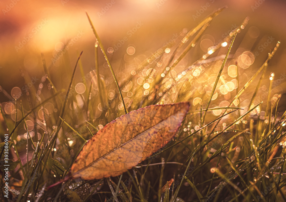 Fototapeta Krople rosy na trawie