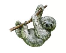 Sloth (Folivora)