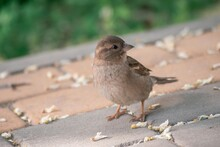 Sparrow Sitting On The Pavement