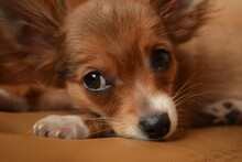 Red Chihuahua Puppy Sleeping